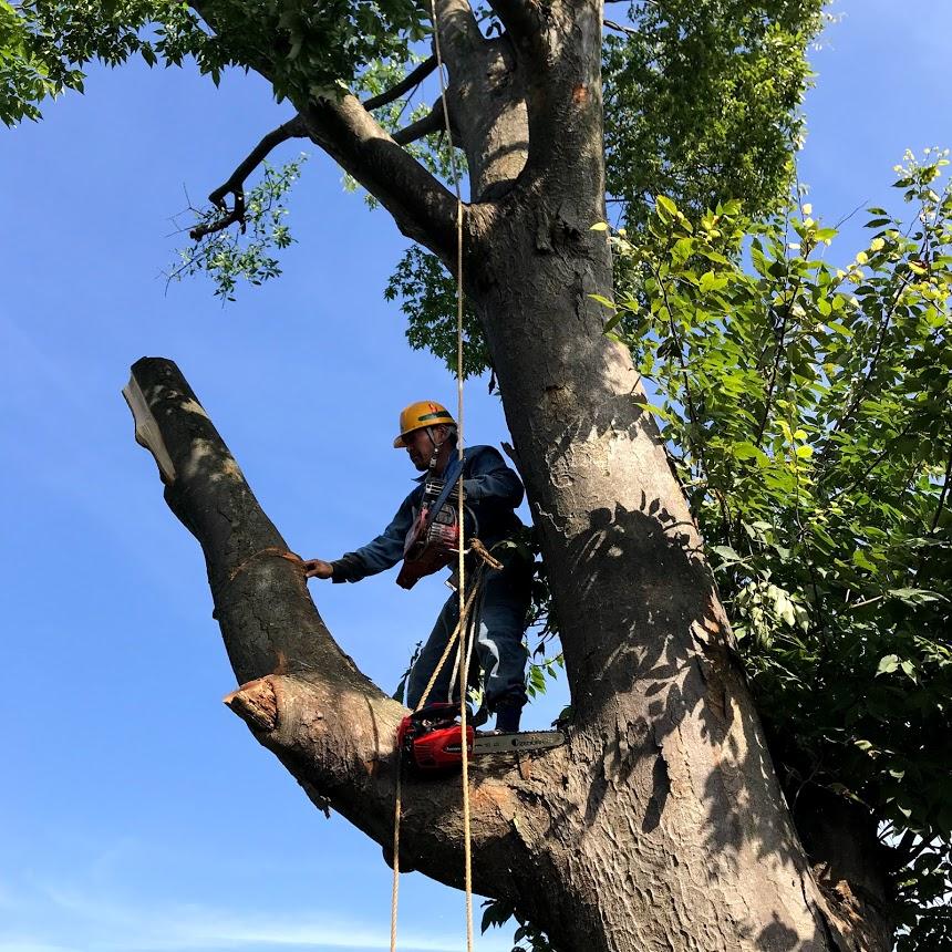 欅の木伐採作業